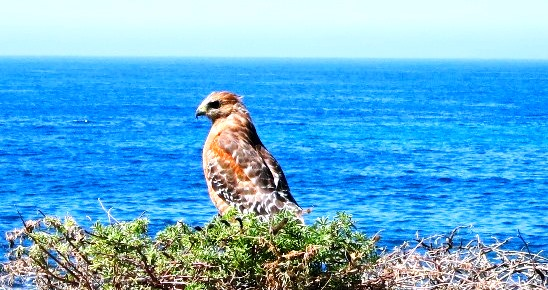 red shouldered hawk - dunes overlook,asbweb